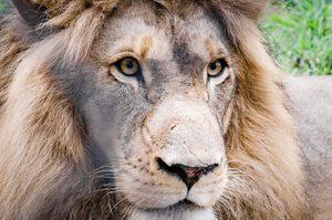 Südafrika Multivision - Löwe in der Wildnis